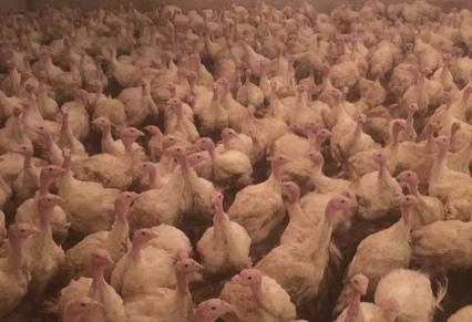 2500-hens